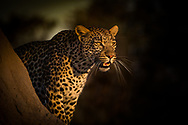 If looks could kill! Focused Leopard scans the African savannah for the ultimate prize in Sandibe, Botswana.