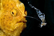 A Frogfish (Antennarius sp.) is fishing with its illicium.  When a prey is attrached the fish opens its mouth and such in the victime within a fraction of a second.