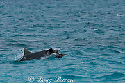 tiger shark ( Galeocerdo cuvier ) strikes a fledgling black-footed albatross chick ( Phoebastria nigripes ) floating in the water after attempting its first flight, East Island, French Frigate Shoals, Papahanaumokuakea National Monument, <br /> Northwest Hawaiian Islands ( Central Pacific Ocean )