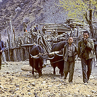 CHINA, TIBET, Tsangpo Gorge. Villagers use yaks to drag logs for bulding construction in Kykar.
