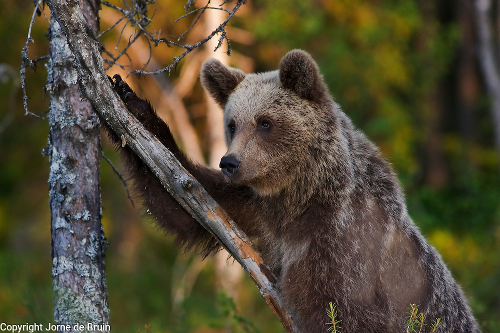 A scruffy looking Eurasian Brown Bear Cub is sitting in a swamp in Finland playing with a small tree.