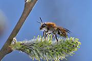Weiden-Sandbiene (Andrena spec.)