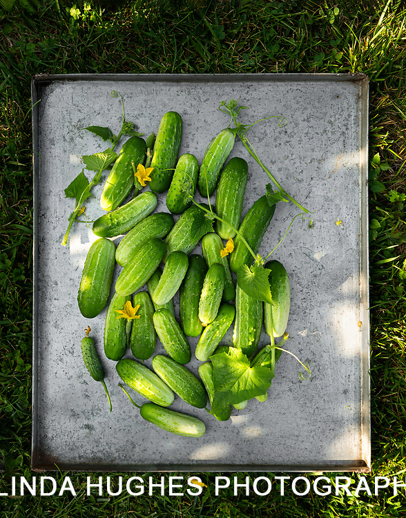 Fresh picked cucumbers in a large metal pan in the grass