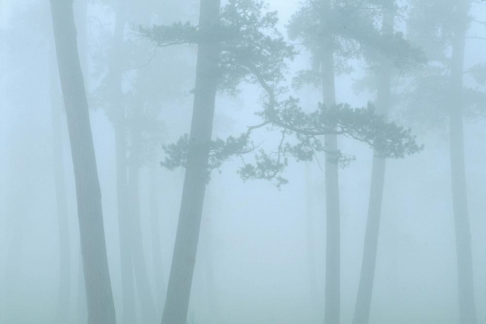 Pine trees in fog, Borgomi-Kharaguli, The Country of Georgia