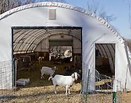 Cornwall, New York  - Dairy goats at Edgwick Farm on Feb. 4, 2012. The farm uses goat milk to make artisan cheeses.