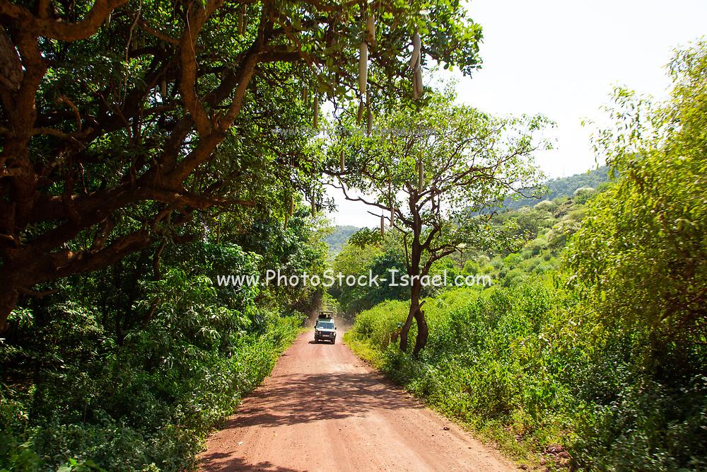 Africa, Tanzania, Lake Manyara National Park tense forest trees