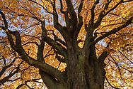Besondere Bäume in der Stadt Zürich. Aesculus hippocastanum, Rosskastanie.