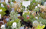 Potted alpine plants on sale at Swanns nursery garden centre, Bromeswell, Suffolk, England