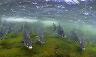 Lake Whitefish<br />