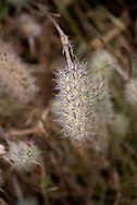 Detail of wild grasses and flower seeds in Big Sur, California