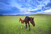 Horses along the Rocky Mountain Front