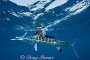 white marlin, Tetrapturus albidus, off Isla Mujeres, streaming bubbles from swiping at bait on surface, off Yucatan Peninsula, Mexico ( Caribbean Sea )