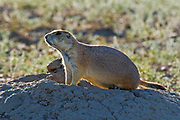Protected species - the Black-tailed prairie dog (Cynomys ludovicianus) <br />
