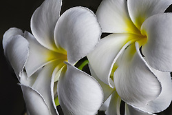 Plumeria alba, Frangipani#8
