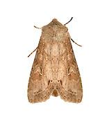73.259 (2148)<br /> Pale Shining Brown - Polia bombycina