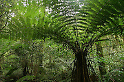 Tree Fern, Rainforest, Haast Passt, New Zealand