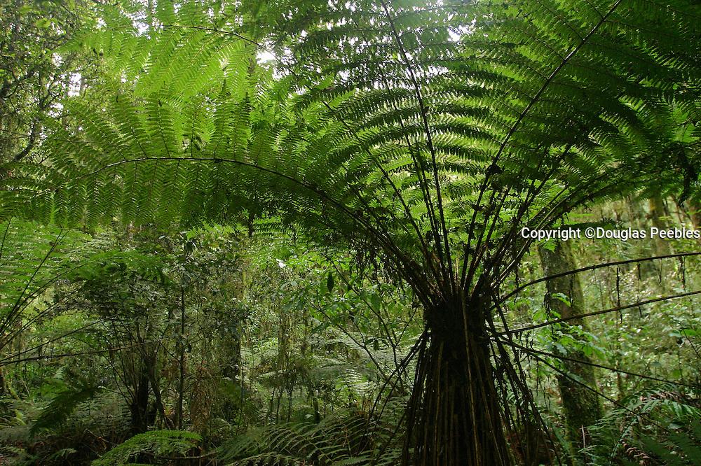 Tree Fern, Rainforest, Haast Passt, New Zealand