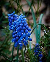 Grape Hyacinth. Image taken with a Nikon 1 V3 camera and 70-300 mm VR lens.