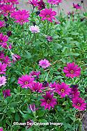 65021-034.18 African Daisy (Osteospermum fruticosum 'wildside') MO