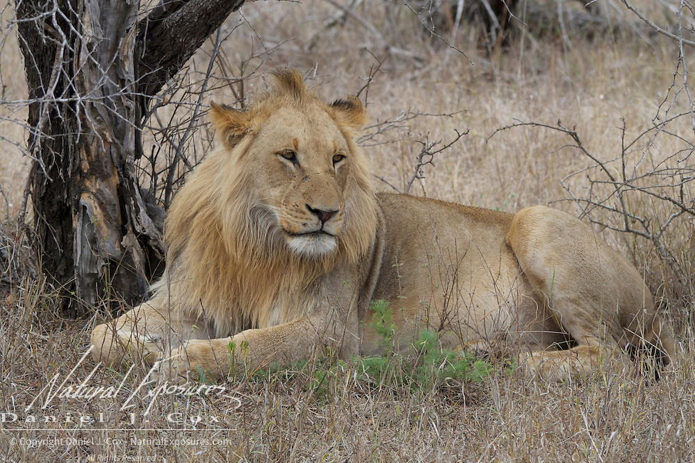 Sub adult male African lion resting. MalaMala Game Reserve. South Africa.