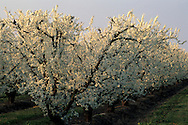 Almond trees white flowers in spring orchards along the Blossom Trail near Navelencia, Fresno County, Caliifornia