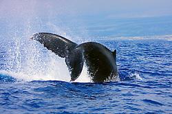 Humpback Whale throwing peduncle in the air, Megaptera novaeangliae, Hawaii, Pacific Ocean.