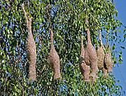 Nests of baya weaver birds hanging from tree branches, Yala National Park, Sri Lanka