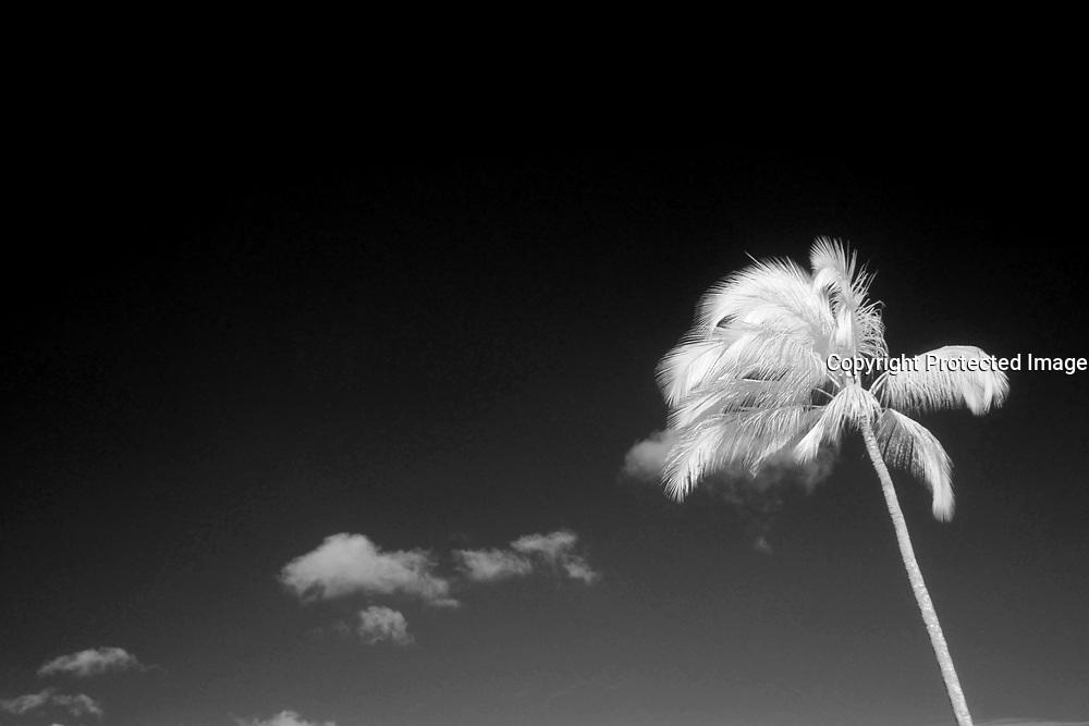 Infrared, Coconut, Palm Tree, Hawaii, B&W