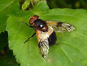Close-up of a Great pied hoverfly (Volucella pellucens) resting on a leaf in a Norfolk open woodland habitat in summer