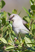 Northern Mockingbird with insect in it's bill.(Mimus polyglottos).Irvine,California..