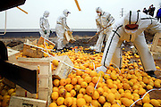 TIANJIN, CHINA - MARCH 15: (CHINA OUT) <br /> <br /> Workers of Tianjin Inspection and Quarantine pour the disinfectant powder onto the substandard imported Spanish oranges and lemons inside a hole to destroy them on March 15, 2016 in Tianjin, China. Tianjin Inspection and Quarantine destroyed over 20 tons substandard imported Spanish fruits which was worth about 14,000 EUR (15,514.8 USD) on Tuesday. <br /> ©Exclusivepix Media