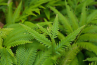Ferns in the understory of rain forest in Halmahera Island, Indonesia.