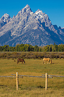 Two horses graze in a field in Grand Teton National Park. The dramatic and jagged Grand Tetons rise over 7,000 feet above the Snake River Valley.