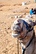 A camel smiles for the camera at the Giza Pyramid Complex, Giza, Egypt.