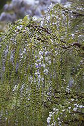 Wisteria floribunda 'Macrobotrys'