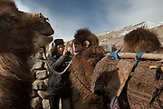 Mujaheed playfully  giving a cigarette to a Bactrian camel...At the Qyzyl Qorum camp. It is the camp of the now deceased Khan (Abdul Rashid Khan, died in December 2009), and headed by the self proclaimed young Haji Roshan Khan (his son). Opium addicted Haji Roshan was never officially stated Khan and is therefore not accepted as leader by the entire Kyrgyz community. Near the Afghan-China border...Trekking through the high altitude plateau of the Little Pamir mountains, where the Afghan Kyrgyz community live all year, on the borders of China, Tajikistan and Pakistan.