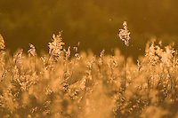 Common reed (Phragmites australis) backlit in evening light . Lithuania, May 2009. Mission: Lithuania