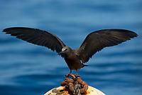 Brown Noddy on dive mooring<br />Prosper Rock<br />Contreras Islands<br />Coiba National Park, Panama<br />Tropical Eastern Pacific Ocean