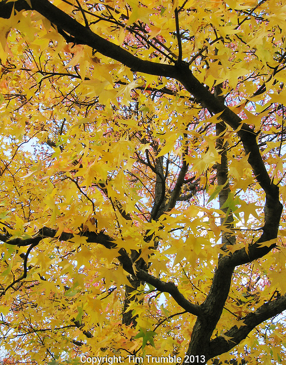 Yellow leaves on tree at fall