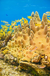 Pillar Coral, Dendrogyra cylindrus, growing over Sugar Wreck, the remains of an old sailing ship that grounded many years ago, West End, Grand Bahamas, Caribbean, Atlantic Ocean