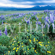 lupine meadow storm over glacier park, summit mountain