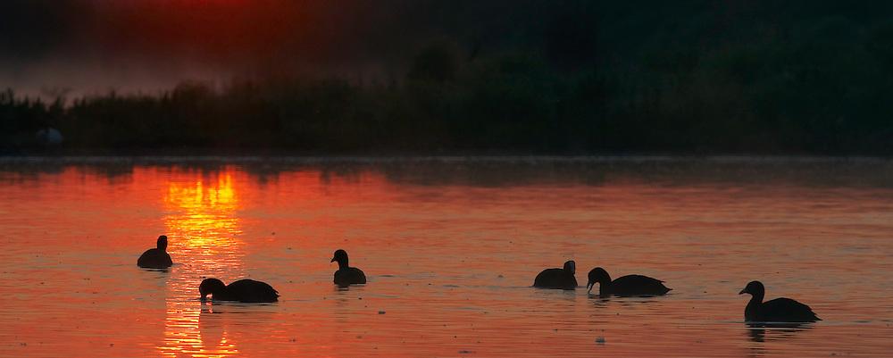 Coot (Fulica atra) Pusztaszer Nature Reserve, Hungary