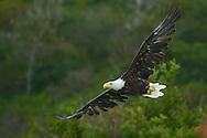 Bald Eagle in Kukay Bay in Katmai National Park in Alaska. ©Brett Wilhelm