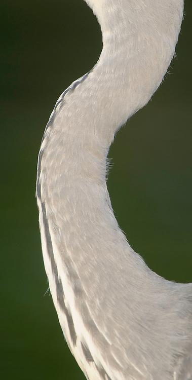 Graureiher; Ardea cinerea; Grey Heron; Mission: Black Storks River Elbe Germany; Biosphärenreservat Niedersächsische Elbtalaue; Biosphere Reserve Middle Elbe