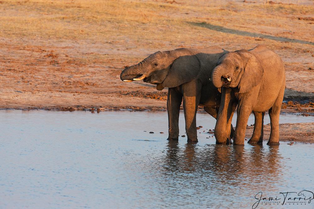 African elephants (Loxodonta africana) drinking at a water hole at sunset, Hwange National Park, Zimbabwe,Africa