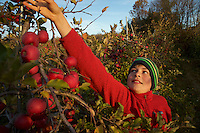 Russell Laman apple picking in the fall.