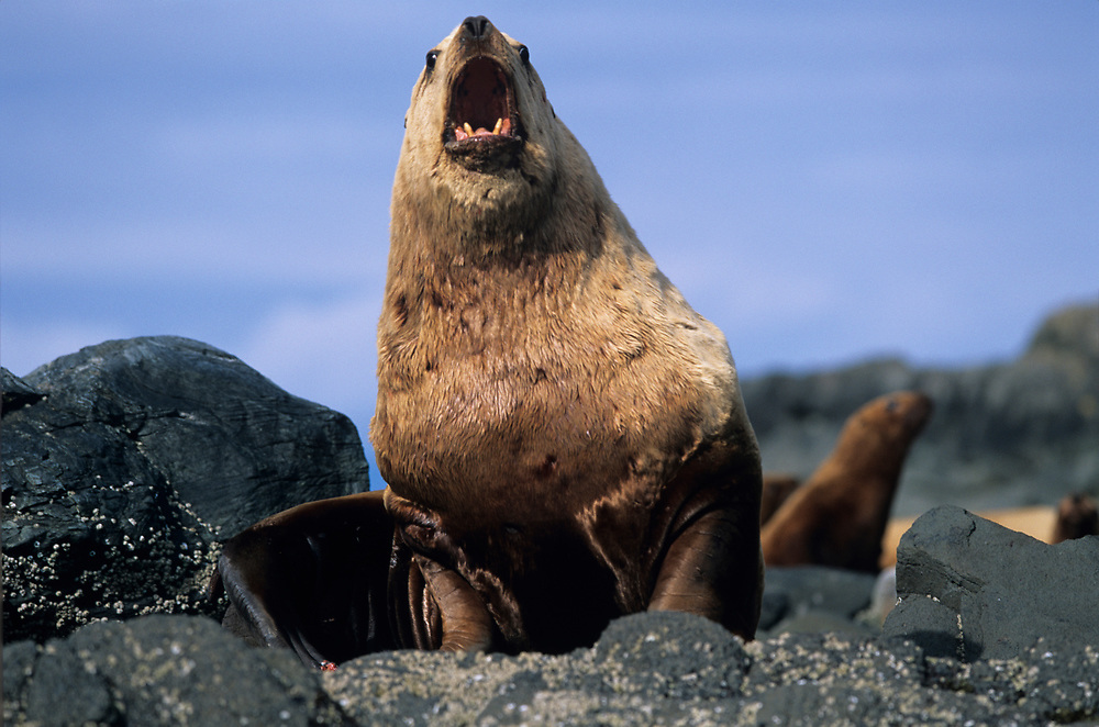 USA, Alaska, Tongass National Forest, Adult Male Steller's Sea Lion (Eumetopias jubatus) sitting on rocks on Sail Island