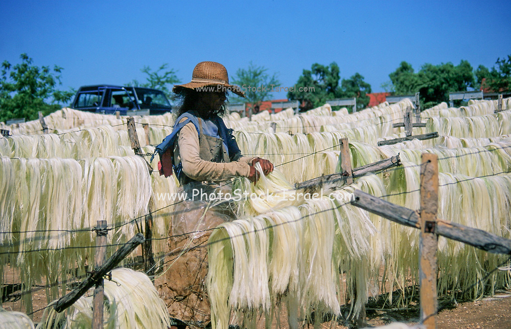 Sisal (Agave sisalana) drying. This fiber is used for the manufacturing of rope. Photographed in Madagascar