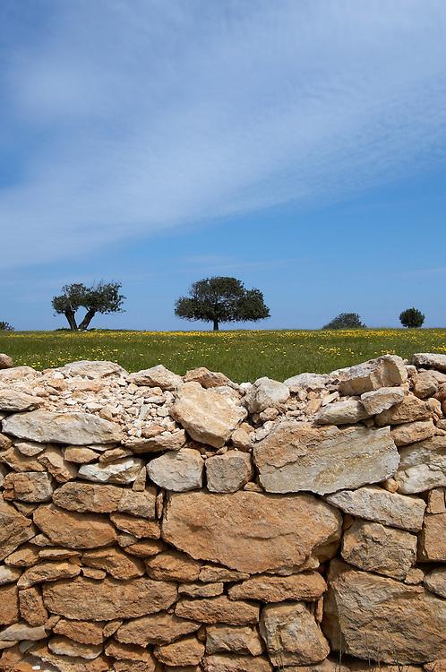 Carob or St. John´s bread (Ceratonia siliqua) and a stone wall , Lachi, Cyprus