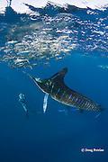 Skip Stubbs films striped marlin, Kajikia audax (formerly Tetrapturus audax ), feeding on baitball of sardines or pilchards, Sardinops sagax, off Baja California, Mexico ( Eastern Pacific Ocean ) MR 398